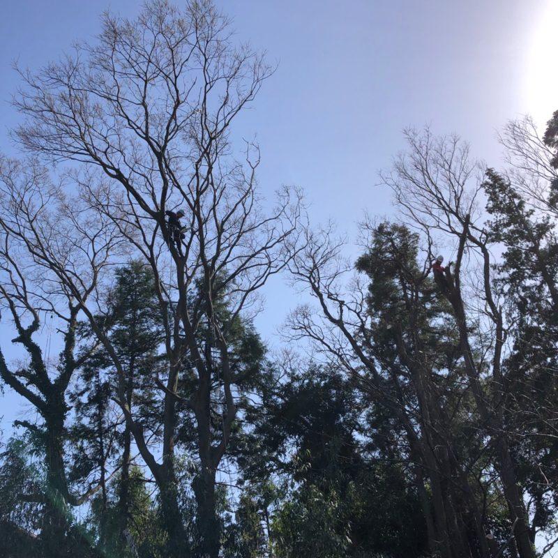 造園西山 施工事例 ツリークライミング 特殊伐採